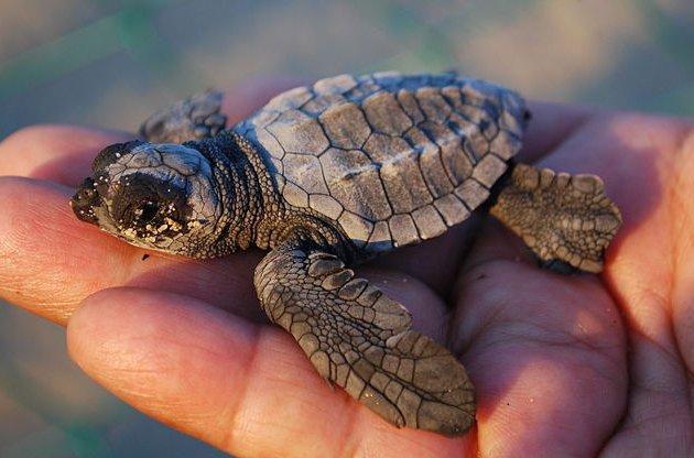 Baby-Leatherback