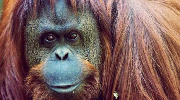 sandra orangutan argentina freedom