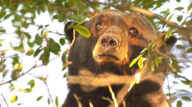 bear-ap-ryot