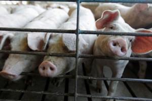 A hog farm in Buckhart, Ill. (AP)