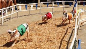 Pig Racing_6