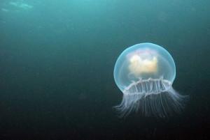 jellyfish.jpg.size.xxlarge.promo